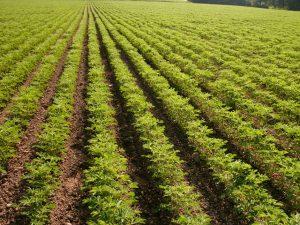 Süßlupine-Feld mit Lupinen