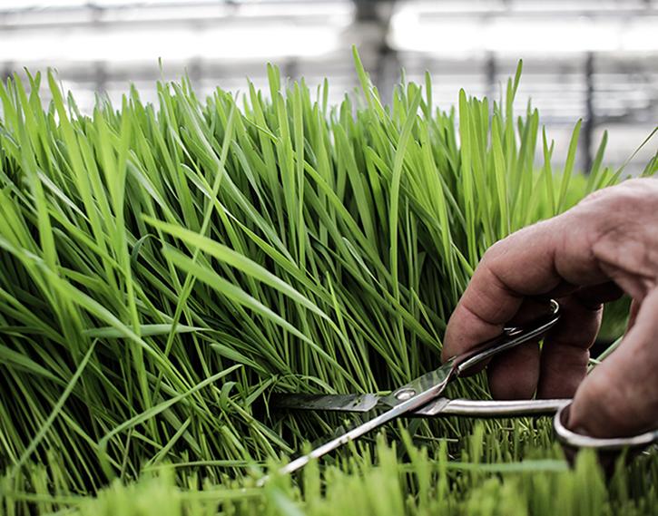 Bio Gräser frisch geschnitten