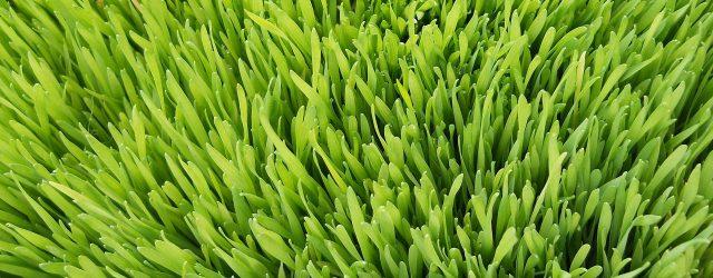 gerstengras weizengras nährstoffe