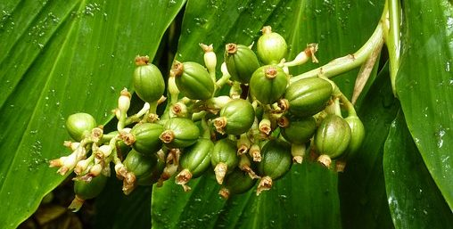 Kaffee gesund gruener Kaffee Pflanze