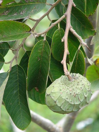 Vegan-auf-reisen-chirimoy-Obst-Frucht