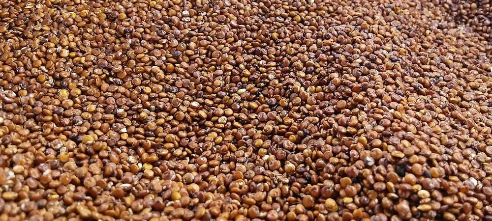 sprossen selber ziehen Quinoa