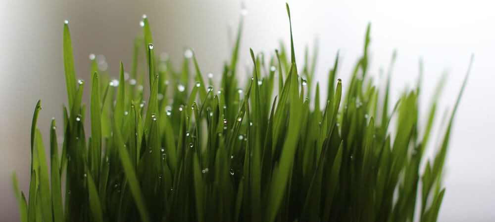 sprossen selber anbauen Weizengras